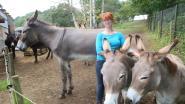 Steeds meer ezels worden gedumpt: Ezelstal Demerhof voert opnamestop in wegens overvol