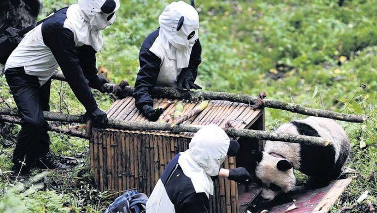 Natuurbeschermers vangen een wilde panda voor een gezondheidsonderzoek. Dierentuinen moeten zich minder op exotische soorten richten. Beeld reuters