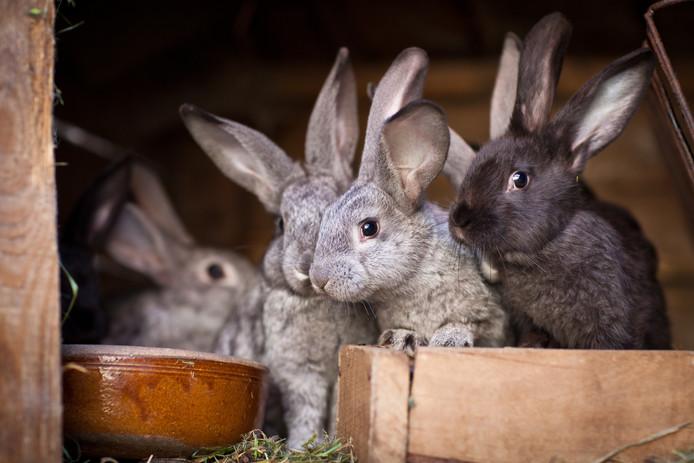 Op verschillende plekken in Rotterdam heerst de dodelijke konijnenziekte myxomatose. Ook tamme konijnen lopen gevaar als ze niet zijn ingeënt.