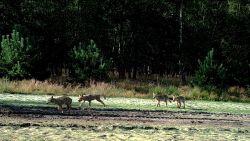 Eerste videobeelden in kleur van wolvenwelpjes in Limburg