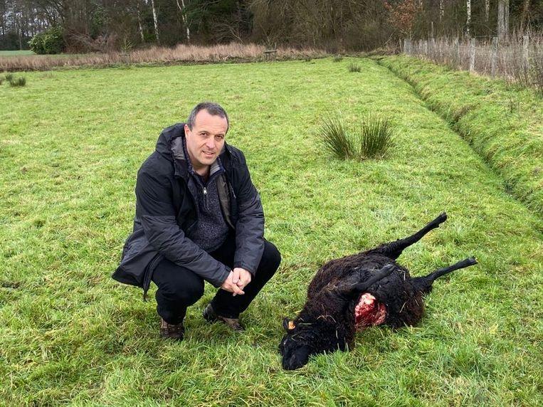 Jan Loos van Welkom Wolf bij het tweede doodgebeten schaap in Zoersel.
