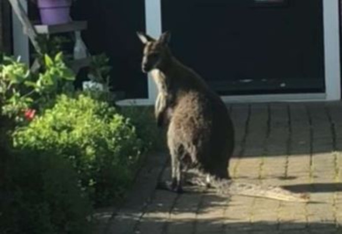 De wallaby huppelde over straat.