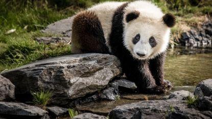 Kwamen panda's uit Hongarije?