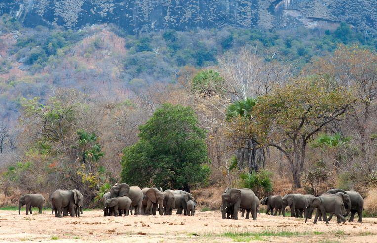 Olifanten in Niassa. Het reservaat is groter dan Zwitserland.