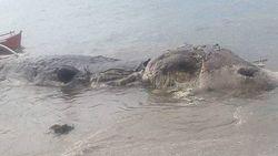 Gigantisch zeewezen spoelt aan op Filipijns eiland