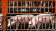 NVWA laat export zieke varkens naar België en Duitsland toe
