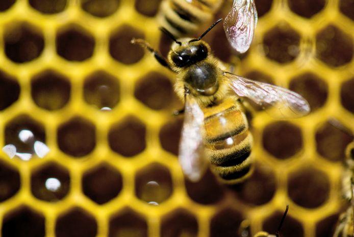 Bijen zullen in de toekomst echte Herentalse honing produceren.