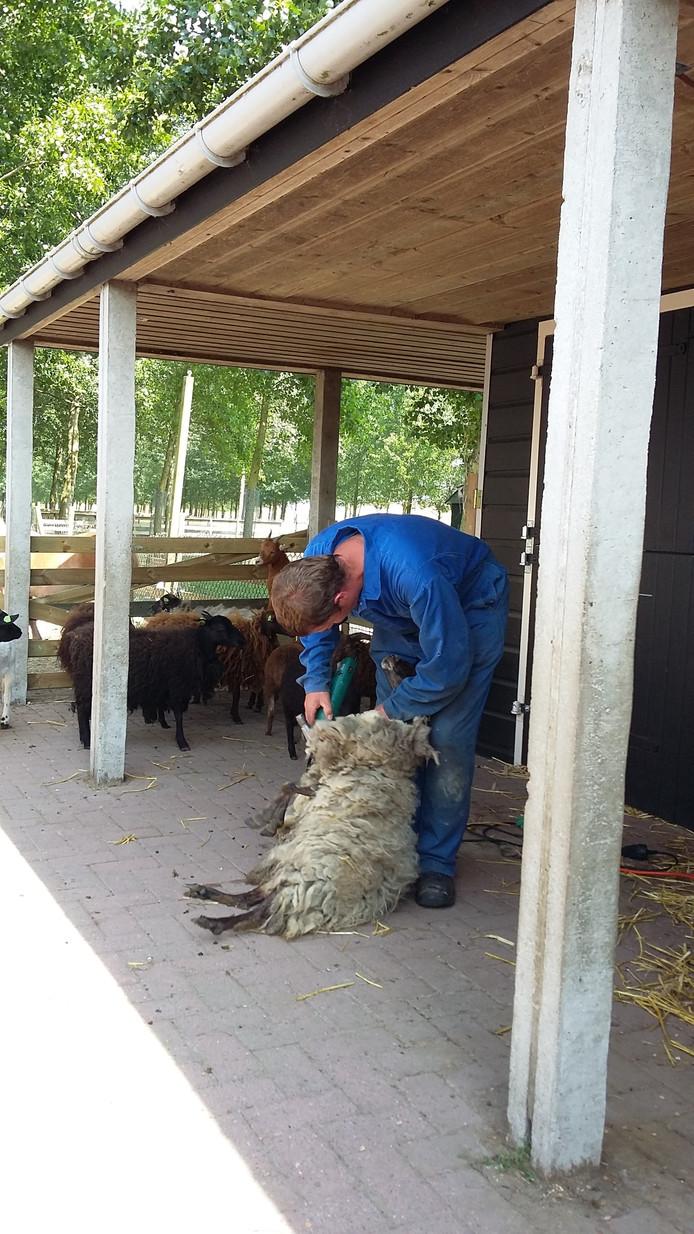 Een schaap wordt geschoren op het eerste schaapscheerdersfeest Hansweert.