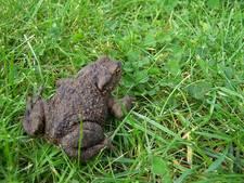 Bijna 1.600 amfibieën overgezet in Rozendaal
