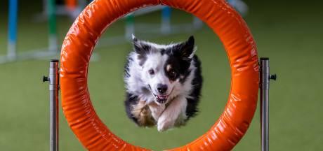 Hét sportjaar van Robin en Moor eindigt met WK hondenbehendigheid: 'Goed is niet goed genoeg'