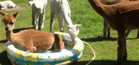 Schattig! Friese alpaca's nemen lekker badje ter verkoeling