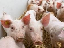 900 dode varkens gevonden in schuur in Winterswijk