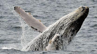 Mysterie: waarom redden bultrugwalvissen andere dieren van moordzuchtige orka's?