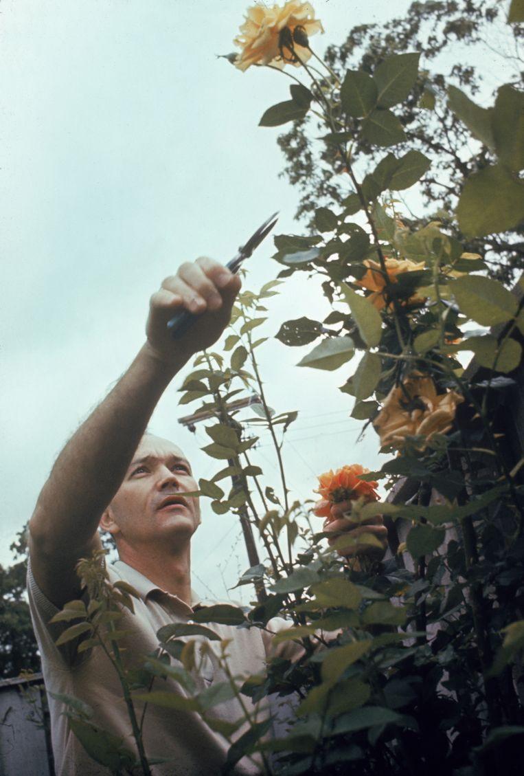 De Amerikaanse astronaut Michael Collins snoeit rozen in zijn tuin in Texas, maart 1969. Beeld null