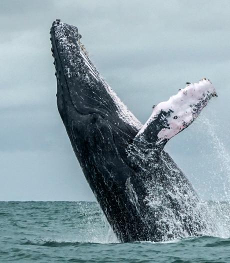 Walvissen blijken enorme CO₂-stofzuigers