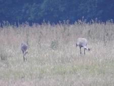 Voor eerst in 100 jaar vliegen weer jonge kraanvogels uit in Korenburgerveen bij Winterswijk