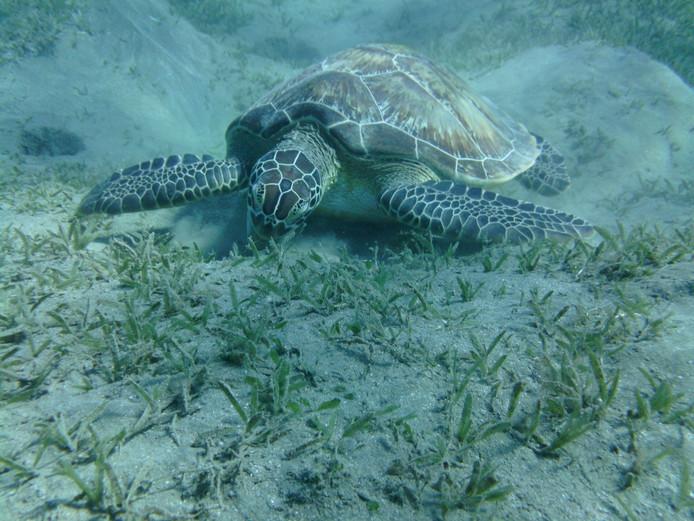 Een grazende schildpad zie je niet iedere dag. Deze fotograaf kwam hem tegen in de Rode Zee.