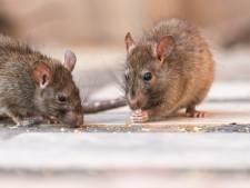 Ratten lagen in Waddinxveen dood voor de deur: zet je vuilniszak niet naast container, roept wethouder op