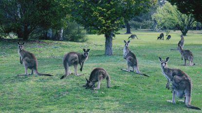 Australiërs slachten hun nationale dier massaal af