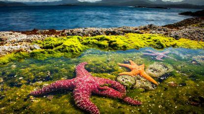 Onverhoopte comeback van de bijna uitgestorven zeester die 'wegsmeltvirus' verslaat