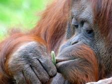 Oudste orang-oetan Apenheul overleden