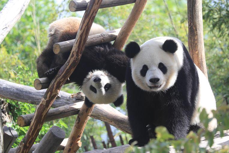 Panda's Tian Bao & Hao Hao