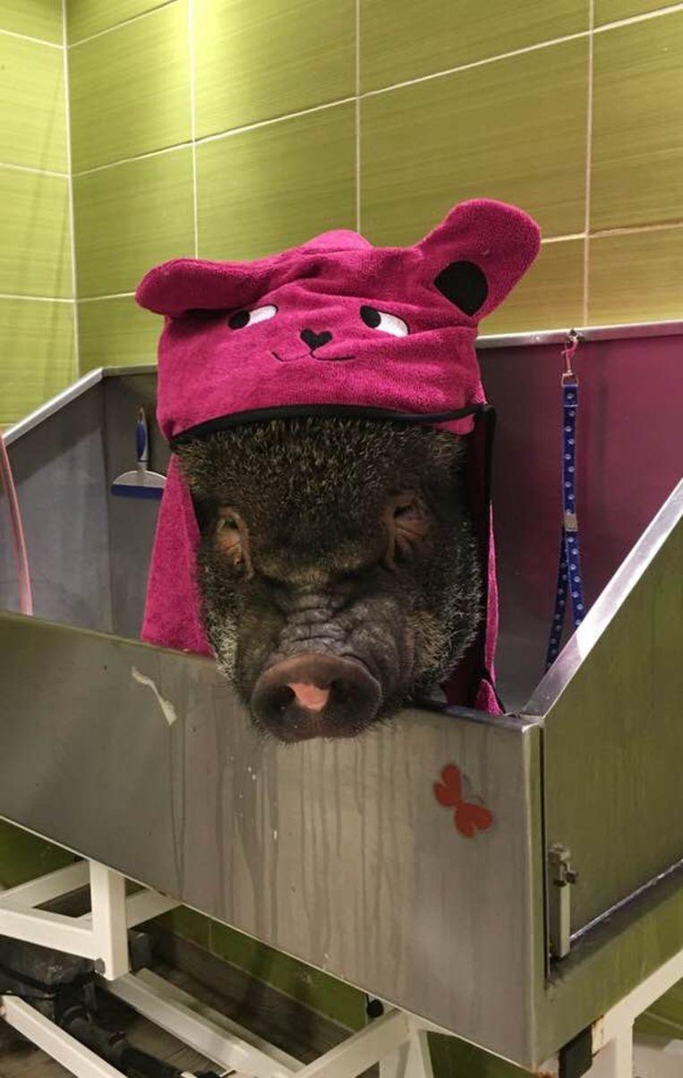 Bacon het minivarken