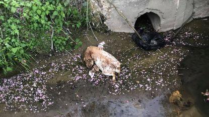 Kadavers van twee dwerggeiten aangetroffen in de Roelbeek