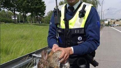 Politie plukt verloren gelopen konijn van afrit Borgerhout