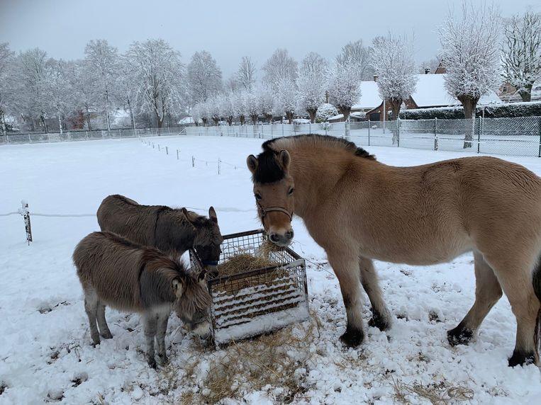 De ezeltjes en een paard smullen hooi en trekken zich van kou weinig aan.