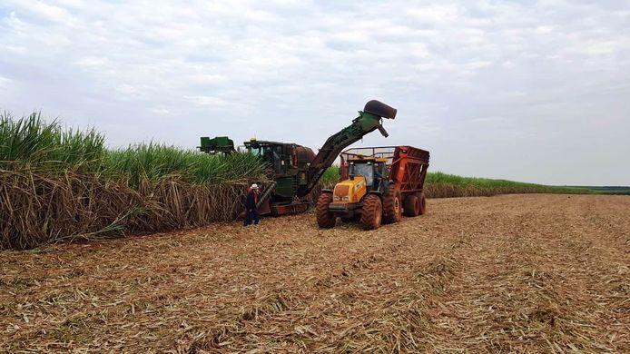 Het oogsten van suikerriet.