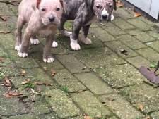 Doos met drie puppy's gedumpt in Den Haag