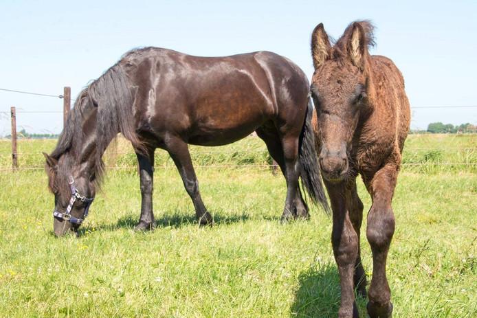 De paarden van de Doetinchemse handelaar bleken nog springlevend. De paarden op de foto zijn overigens niet zijn paarden.