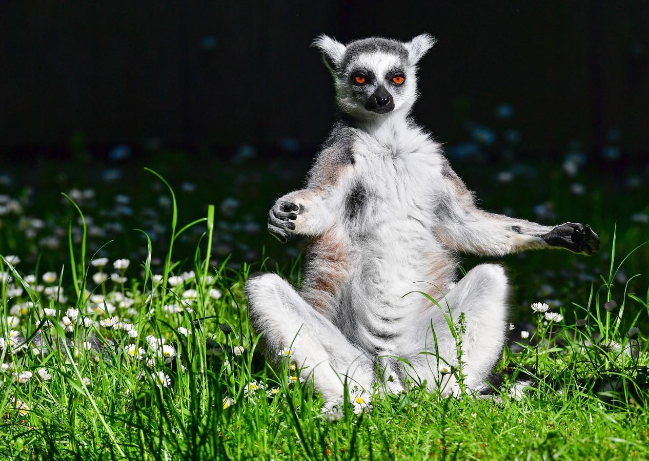 Een ringstaartmaki geniet van de zon in een dierentuin.