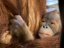 Voici Mathaï, le nouveau petit orang-outan de Pairi Daiza