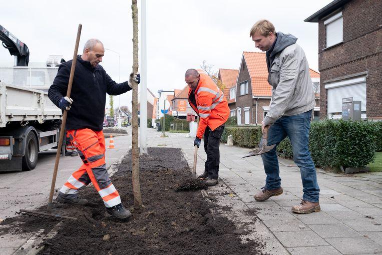 Schepen Bert Wollants helpt een sierkers planten aan de Mechelsesteenweg.