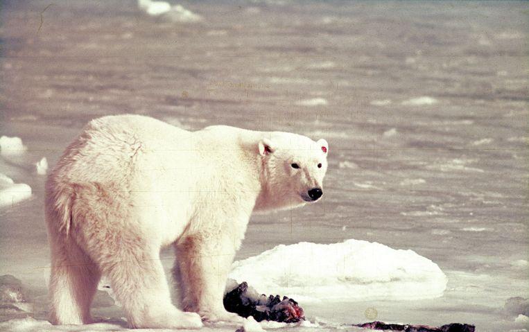 De eerste beer, Barend, met nummer 251 in de oren, 15 sep. 1968.  Beeld  Ko de Korte