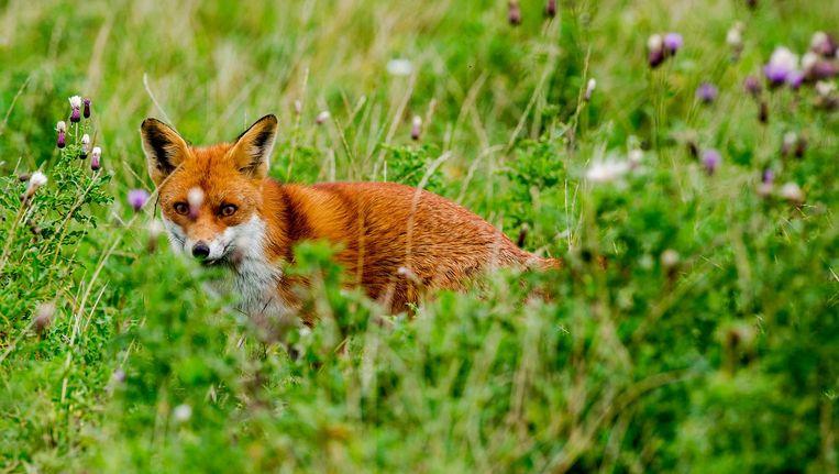 Een vos in de Oostvaardersplassen. Beeld anp