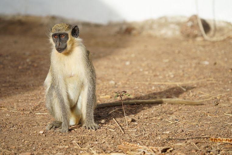 De geelgroene meerkat in Senegal. Beeld null