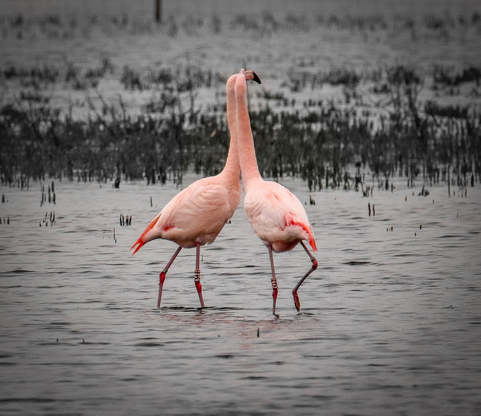 De flamingo's in het Zwillbrocker Venn.