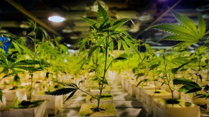 Politie haalt 700 wietplanten uit stal in Lummen