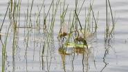 Afrikaanse zadellibel duikt op in Kalmthoutse Heide