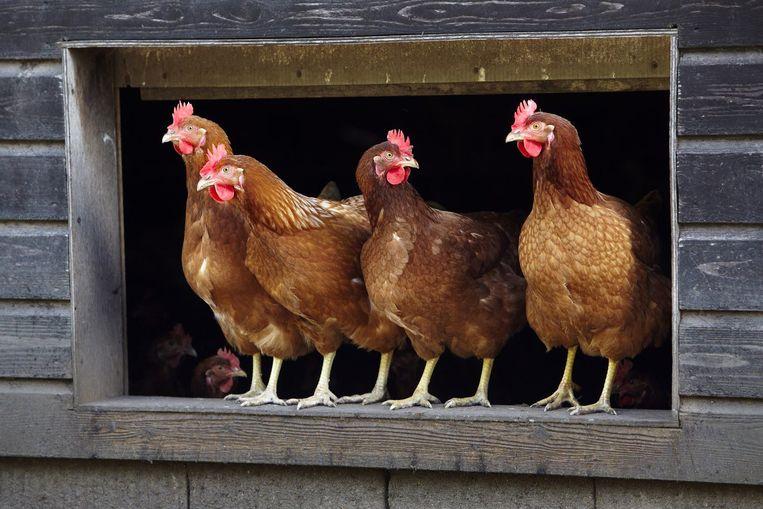 Illustratiebeeld kippen