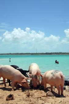 Dood van zwemmende varkentjes Bahama's een groot mysterie
