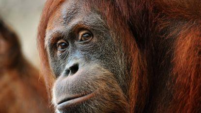 Zwaargewonde orang-oetan met 74 schotwonden gevonden in Indonesië