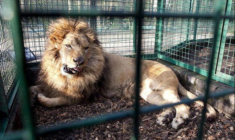 Ook Leeuw Brutus werd na inbeslagname ondergebracht in Opglabbeek. Hij geniet ondertussen van zijn oude dag in Zuid-Afrika.