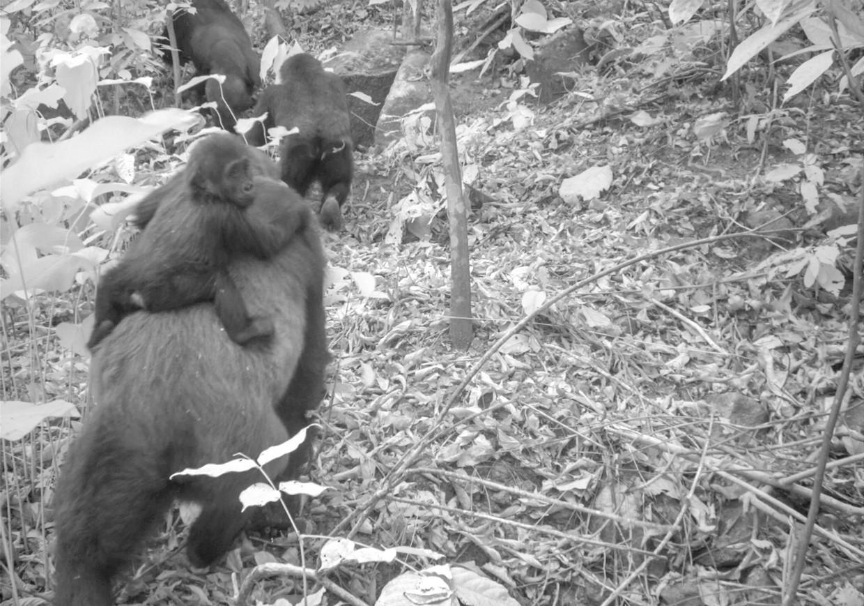 De foto's laten een volwassen vrouwtje zien met een baby en jongen. Het geeft aan dat de soort die ooit uitgestorven leek, zich voortplant.  Beeld AP