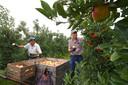 Ouderen helpen mee met het binnenhalen van de appeloogst in Sambeek.