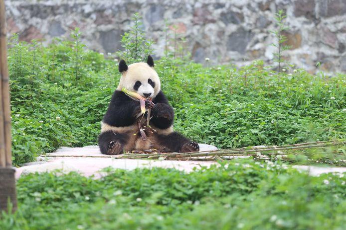 Mannentjes panda Xing Ya, een van de twee panda's die naar Ouwehands Dierenpark in Rhenen gaan.