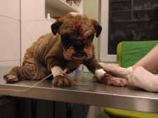 Grof geld verdienen met gruwelijke handel in honden: 'Ze doen er alles aan om je te misleiden'